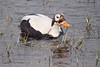 Spectacled Eider (Somateria fischeri) by TroyEcol