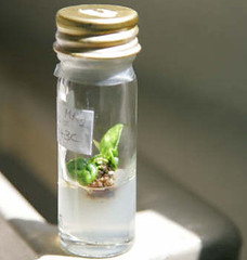 Jun/2007 - A sample of virus-free tissue culture at ILRI's forage genebank on the ILRI Addis Ababa campus (photo credit: ILRI/Stevie Mann).