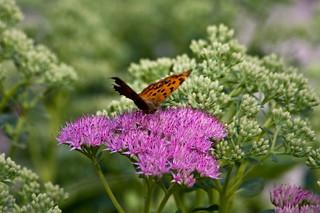 Butterfly on Purple Flower   by storyvillegirl