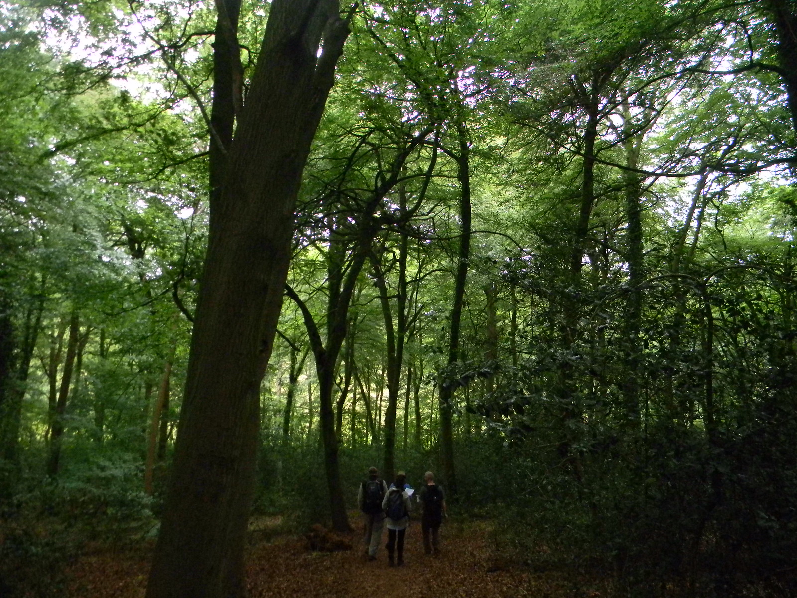 In the woods Shiplake to Henley
