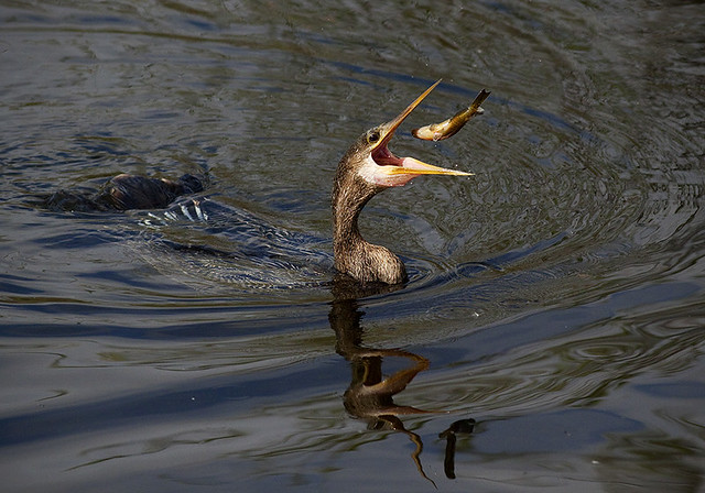 Anhinga Fishing (Anhinga anhinga)