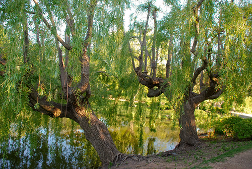 Weeping Willow | by Guitarfool5931