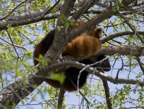 Sleeping Red Panda 1 | by cetaylor