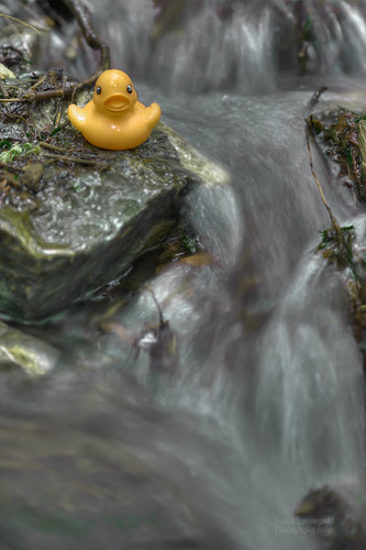 lake bird birds geotagged fun photography duck wildlife feathers rubber falls clean ducky local bridal hdr avian chilliwack squeaky cheam janusz leszczynski 010451 shouldistayshouldigo onthestick geo:lat=49188183 geo:lon=121723537