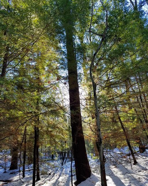 White pine tree, Loyalsock Trail