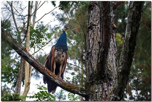 park mountain tree nature philippines peacock resort eden pk davao davaocity pinoykodakero