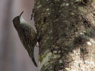 White-throated Treecreeper | by boombana