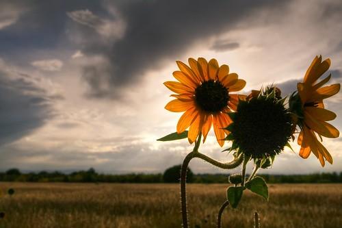 sunset june colorado sunflowers dogpark cherrycreek canon2470f28 platinumheartaward