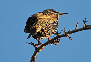 Starling, Sturnus vulgaris, on a Hawthorn Tree Branch, Crataegus monogyna | by Steve Greaves