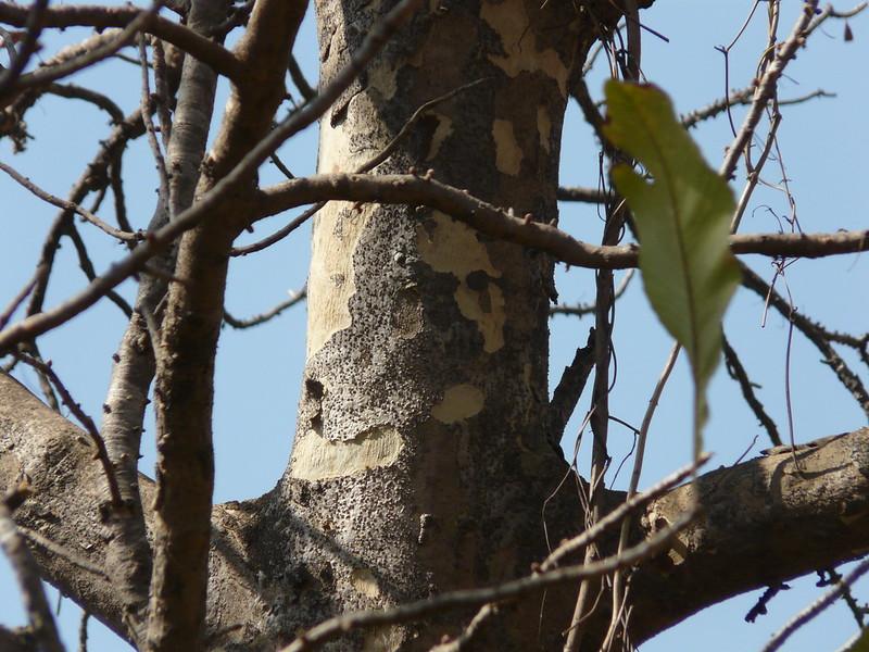 contoh simbiosis Komensalisme Tumbuhan Paku dengan Pohon Jati