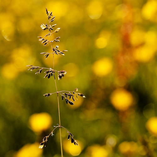 london grass yellow bokeh meadow valerie sutton buttercups wallington canonefs60mm meadowgrass beddingtonpark july09 canoneos400d pearceval 15challengeswinner