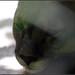 Flickr photo 'Cougar (Puma concolor)' by: bob|P-&-S.