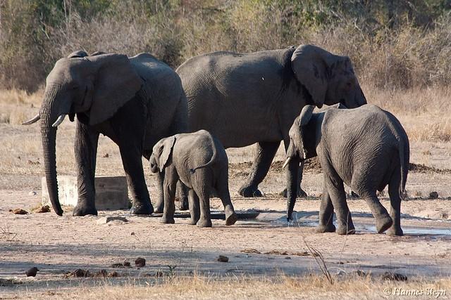 Elephants drinking & bathing - KNP (Nwaswitsaka Waterhole)