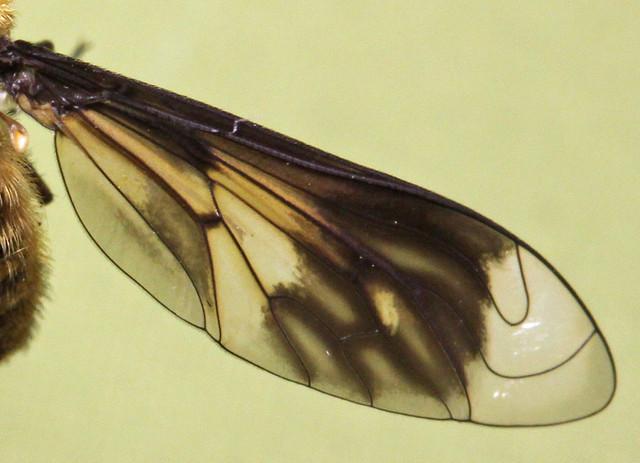 Comptosia moretonii - wing