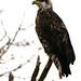 Flickr photo 'Haliaeetus leucocephalus IV' by: Blake Matheson.