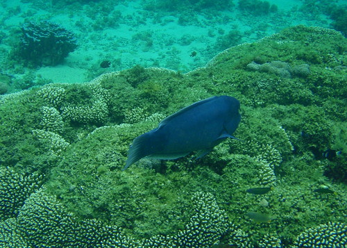 Lord Howe Island snorkeling - Double headed wrasse clown fish and others | by Percita