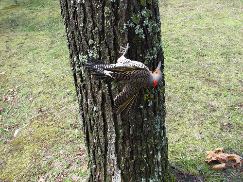 Northern Flicker tangled in monofilament