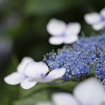 hydrangea #09