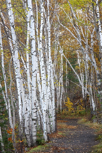 autumn fall vermont path foliage vt birchtrees graniteville whitebark canon40d