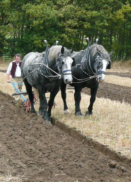 Ploughing Percherons