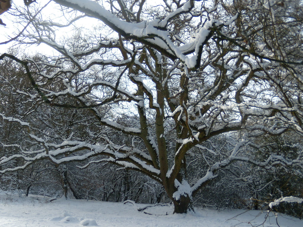 Snowy tree Tring to Berkhamsted