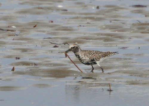 Black-bellied Plover with Worm | by DaveMaherPhotos