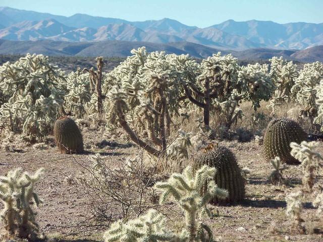 Chollas and Barrel Cactus near Cascabel, AZ