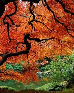 Japanese Maple Near Pond | by MesmanImages