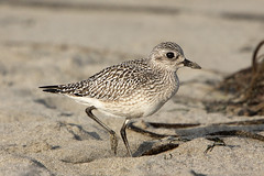 Black-bellied Plover in nonbreeding plumage | by Alan Vernon.