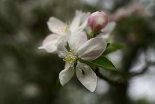 spring-apple-tree-flower | by ForestWander.com