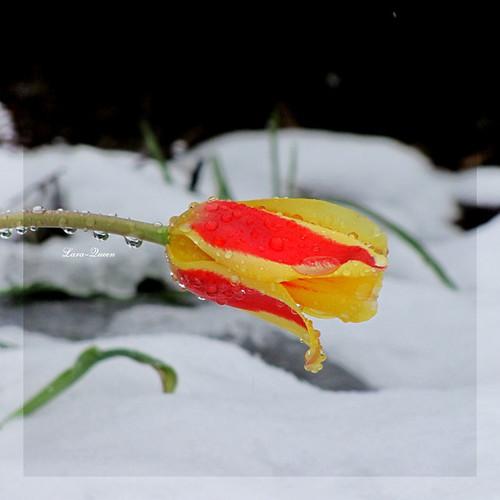 snow canada flower nature fleur quebec magog tulip neige estrie tulipe 500x500 bokehlicious abigfave colorphotoaward tardive quynhvu wonderfulworldofflowers canonpowershotsx10is laraqueen 28avril2010