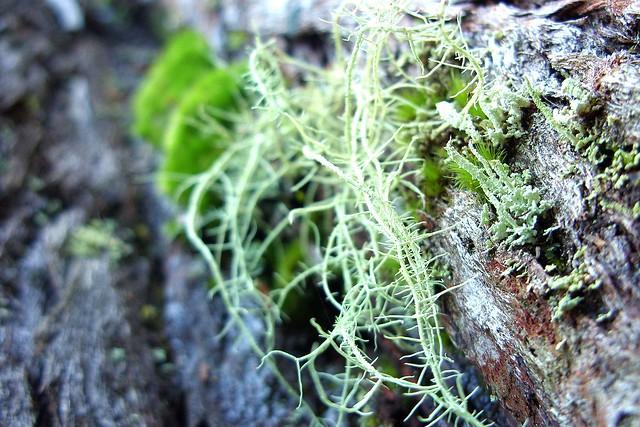 Usnea barbata - Floresta da Tijuca - RJ