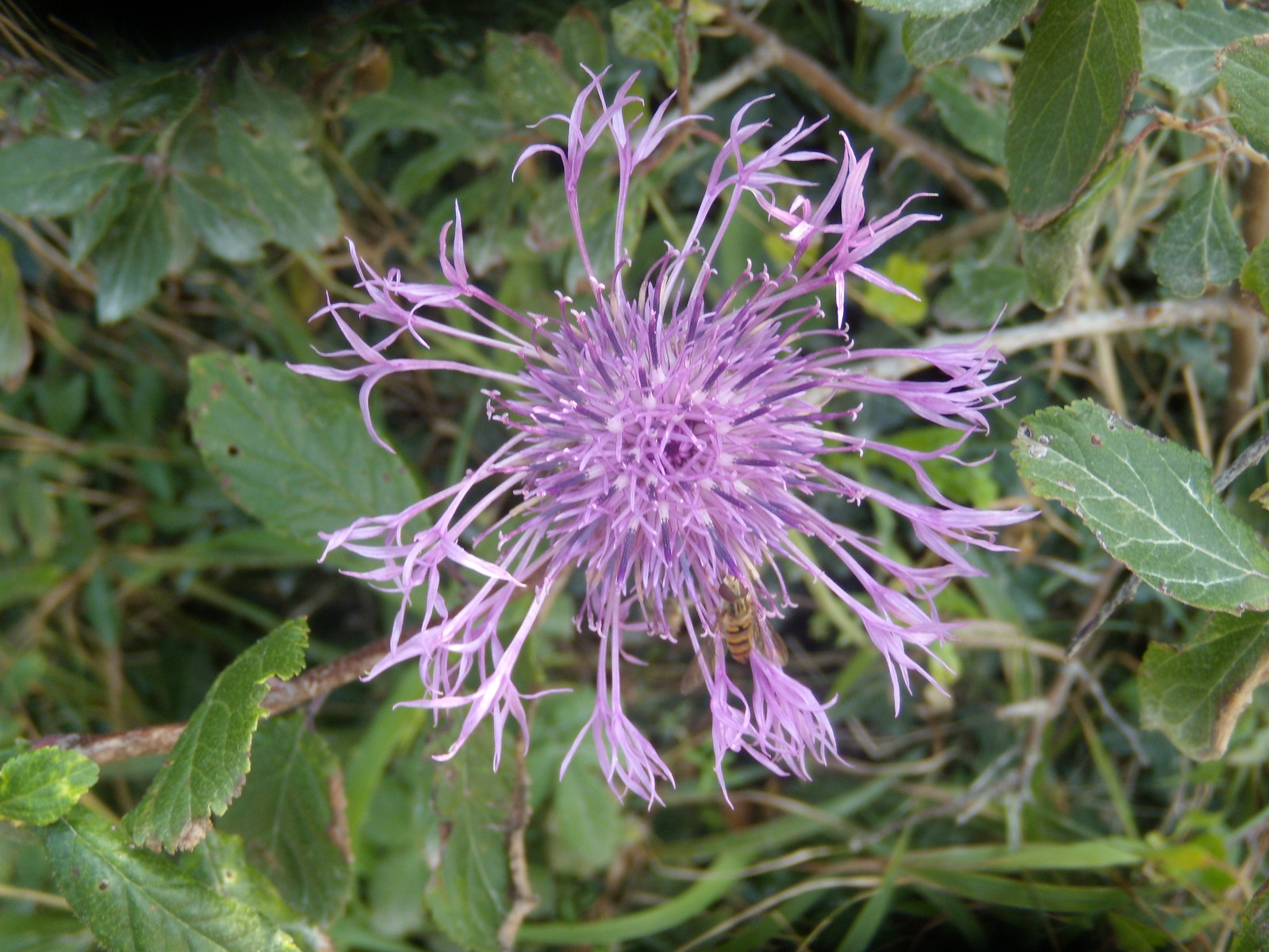 Knapweed Eastbourne to Seaford