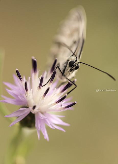 Mariposa sin identificar