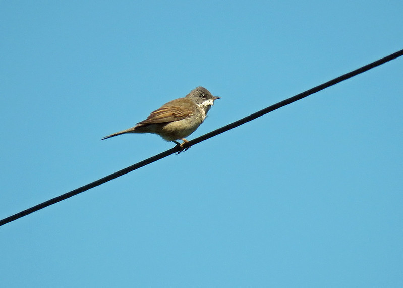 Whitethroat - Sylvia communis
