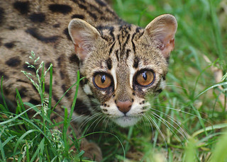 Leopard Cat | by FurLined