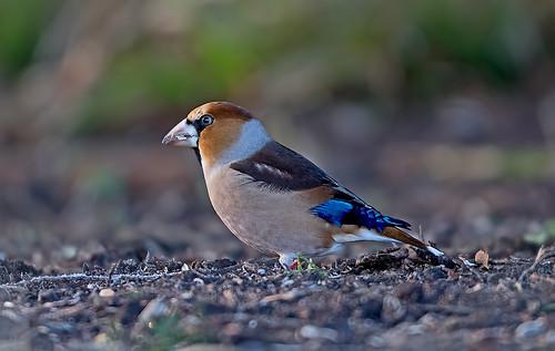hawfinch coccothraustescoccothraustes finches fringillidae avian forestofdean bird birds nature wildlife yewtrees