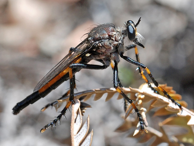 Asilidae or robber fly