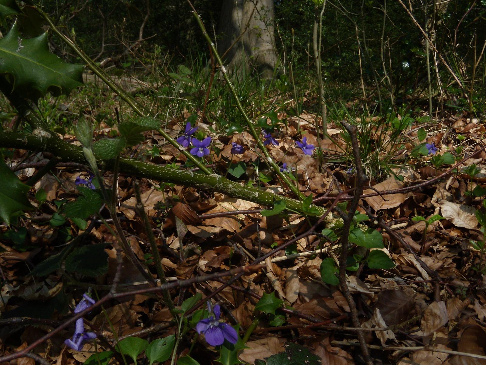 Violets Wendover Circular