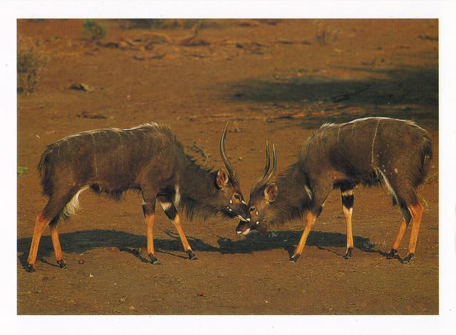 Nyala Bucks Postcard