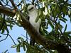 Sulawesi Hawk eagle (Spizaetus lanceolatus) by Bram Demeulemeester - Birdguiding Philippines