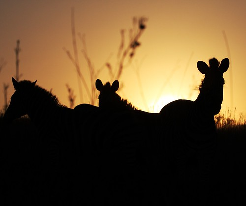 sunset zebra backlit tala
