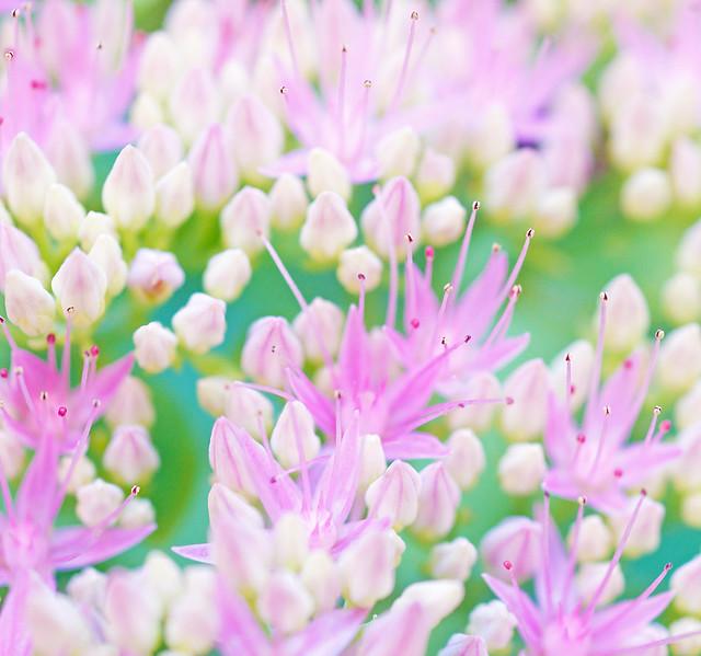 Pandora flowers