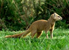 Yellow mongoose (Cynictis penicillata) Witkwas Muishond   by Peet van Schalkwyk