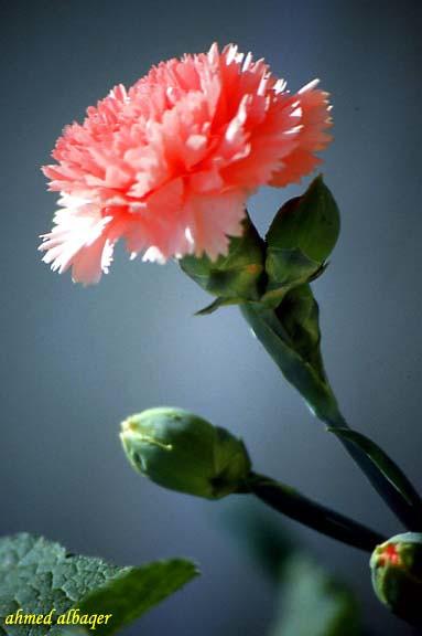 Carnation .. Spring rose   زهرة القرنفل