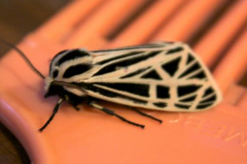 Virgin Tiger Moth - Hodges#8197 (Grammia virgo)