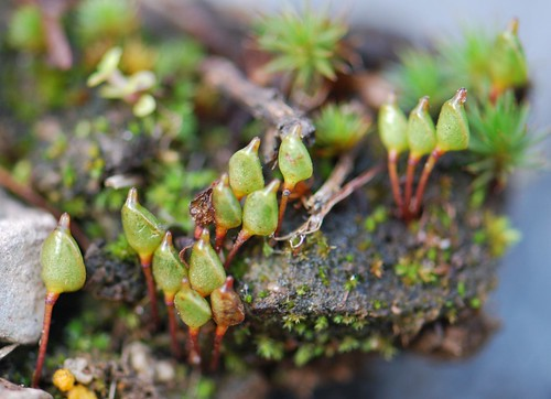Buxbaumia aphylla (brown shield-moss) | by Tab Tannery