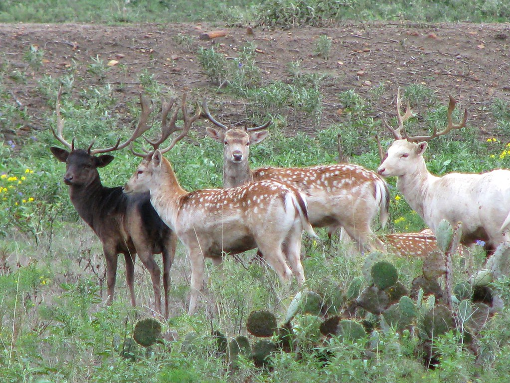 Picture A Day February 12, 2010 - Fallow Deer near Type, T ...