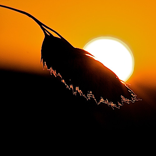 sunset sky sun grass silhouette golden halo highlight edges afsvrmicronikkor105mmf28gifed bestofmywinners