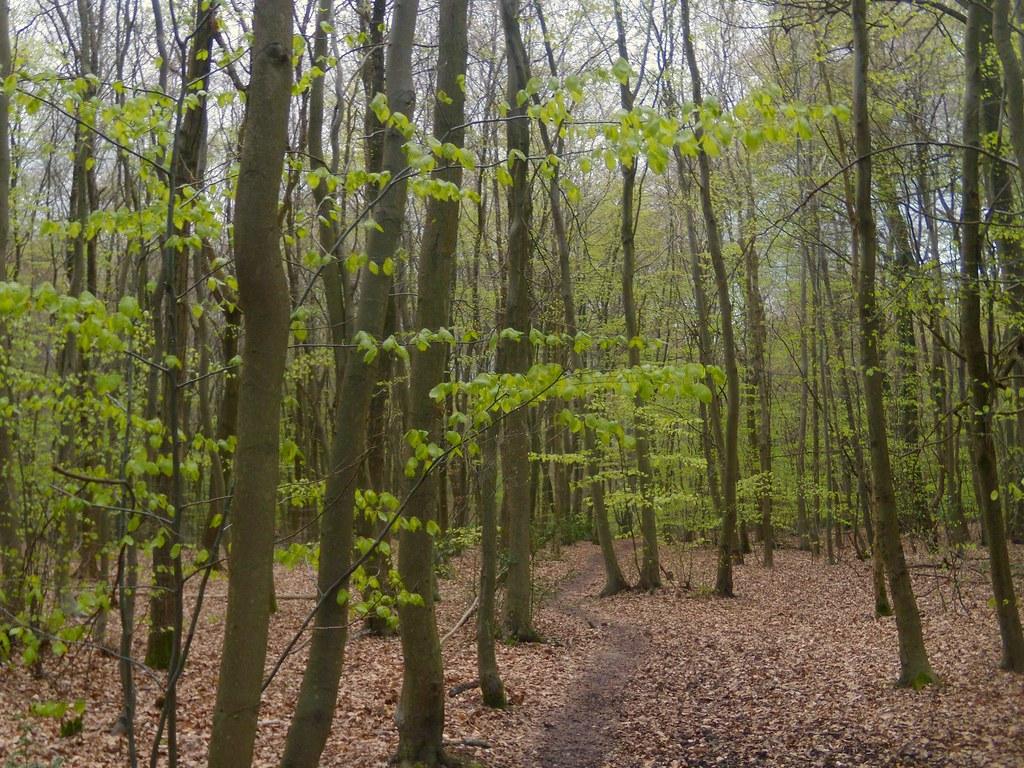 Emergent greenery Little Kimble to Saunderton